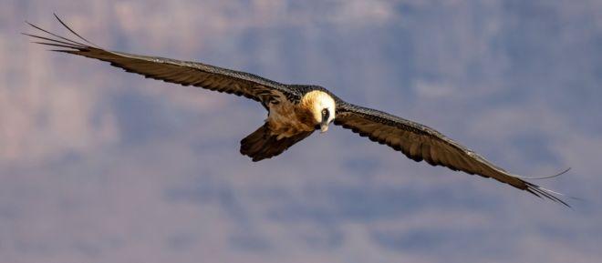 Avian 3 (Large)